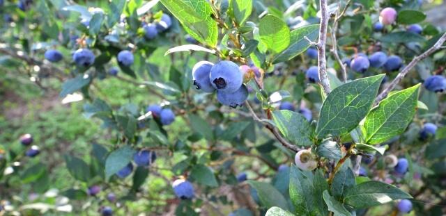 ブルーベリー栽培